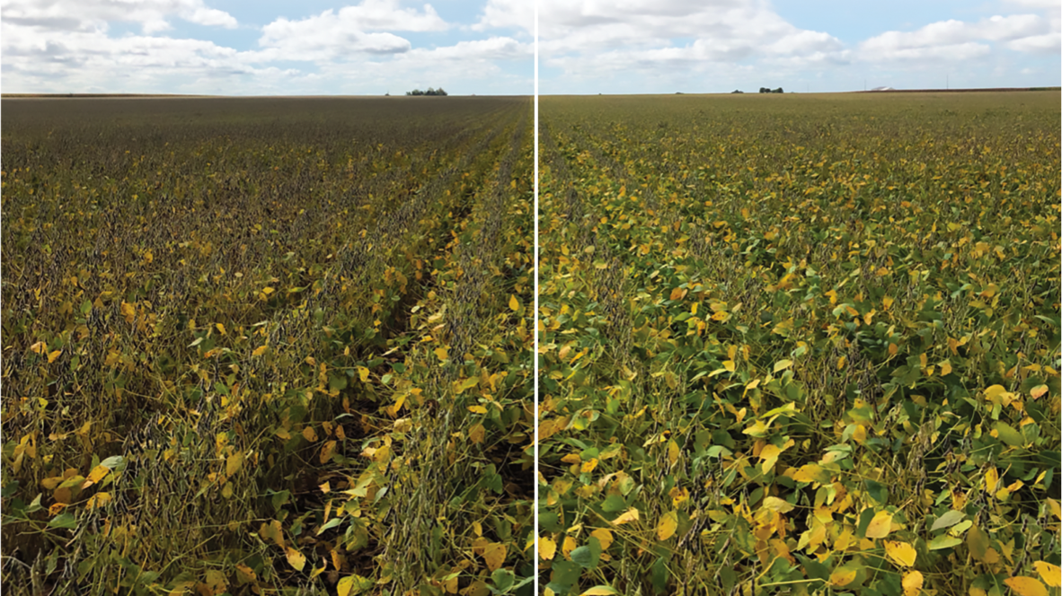 Field showing untreated check and improvement with Revytek Fungicide